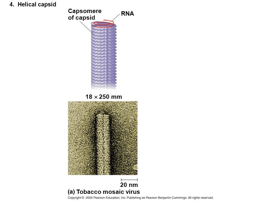 4. Helical capsid Capsomere of capsid RNA 18  250 mm Tobacco mosaic virus 20 nm