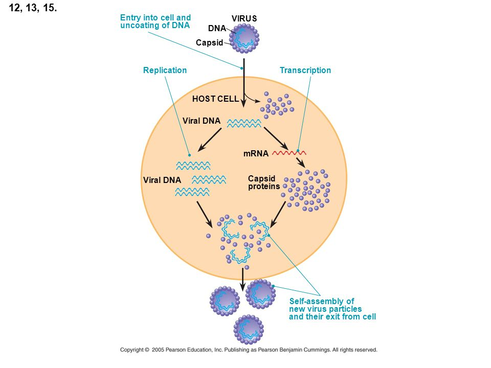 12, 13, 15. DNA VIRUS Capsid HOST CELL Viral DNA Replication Entry into cell and uncoating of DNA Transcription Viral DNA mRNA Capsid proteins Self-as