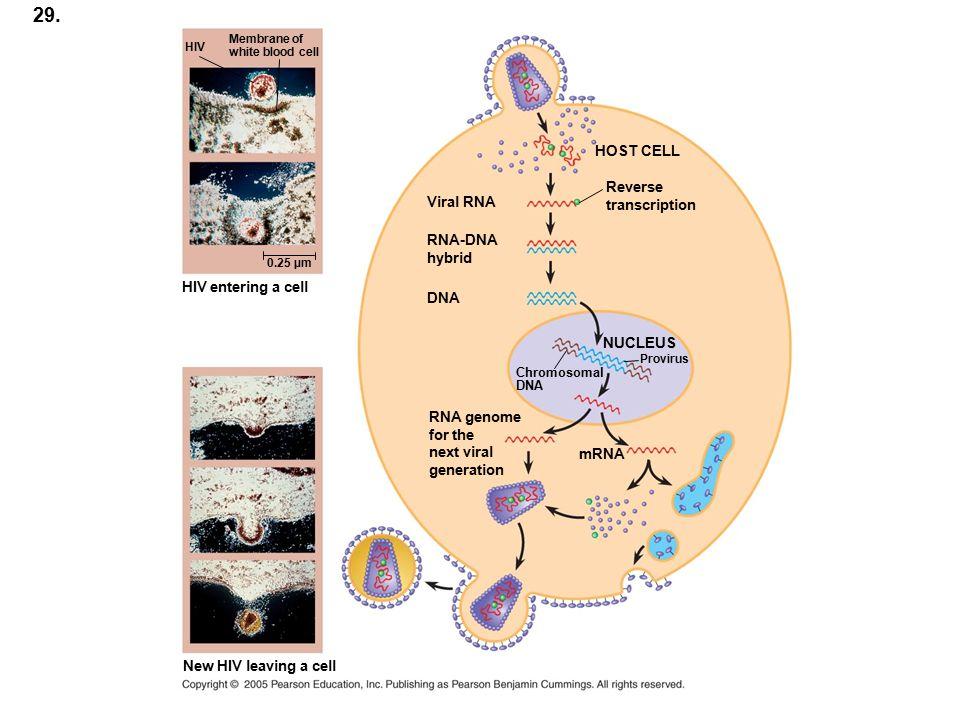 29. HOST CELL Reverse transcription Viral RNA RNA-DNA hybrid DNA NUCLEUS Chromosomal DNA Provirus RNA genome for the next viral generation mRNA New HI