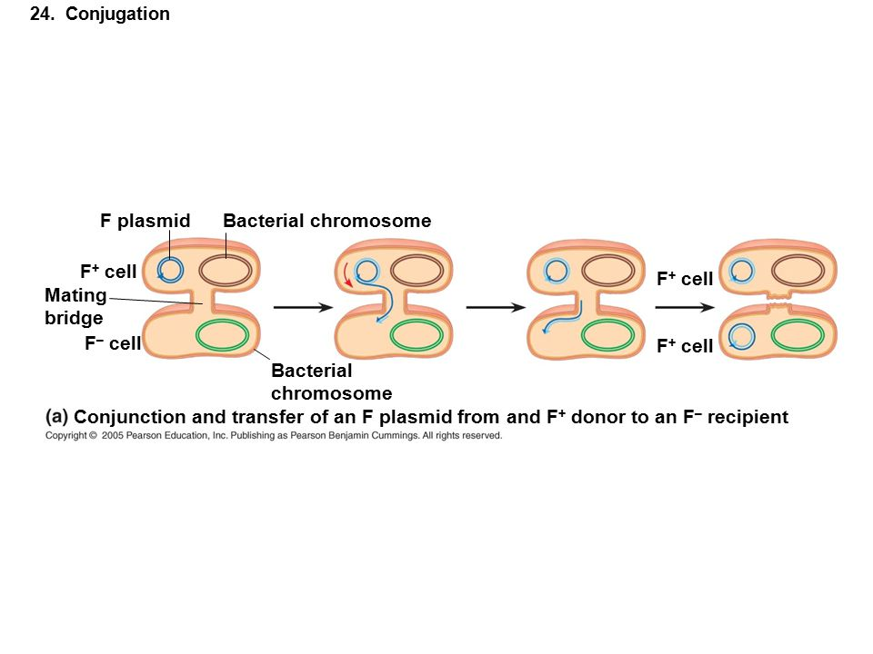24. Conjugation F plasmidBacterial chromosome F + cell Mating bridge F + cell Bacterial chromosome F – cell Conjunction and transfer of an F plasmid f