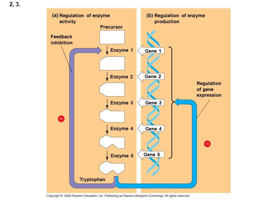 2, 3. Regulation of enzyme activity Regulation of enzyme production Enzyme 1 Regulation of gene expression Enzyme 2 Enzyme 3 Enzyme 4 Enzyme 5 Gene 2