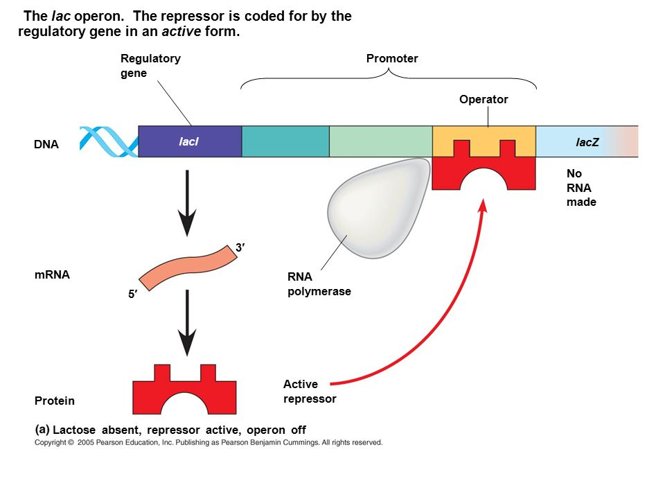 The lac operon. The repressor is coded for by the regulatory gene in an active form. DNA lacl Regulatory gene mRNA 5 3 RNA polymerase Protein Active r