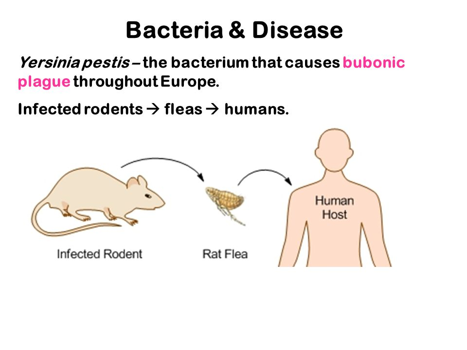 Bacteria & Disease Yersinia pestis – the bacterium that causes bubonic plague throughout Europe. Infected rodents  fleas  humans.