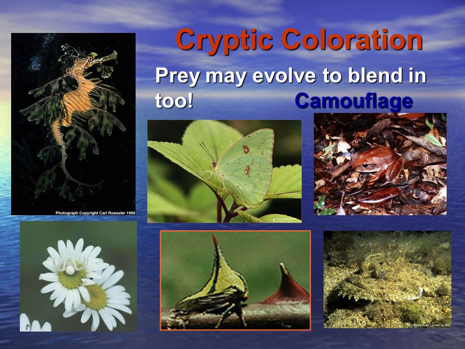 Cryptic Coloration Prey may evolve to blend in too!Camouflage