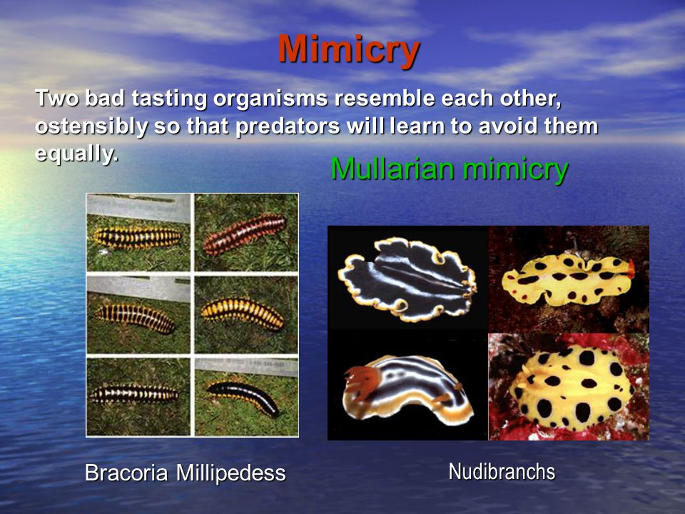 Mimicry Mullarian mimicry Bracoria Millipedess Nudibranchs Two bad tasting organisms resemble each other, ostensibly so that predators will learn to a