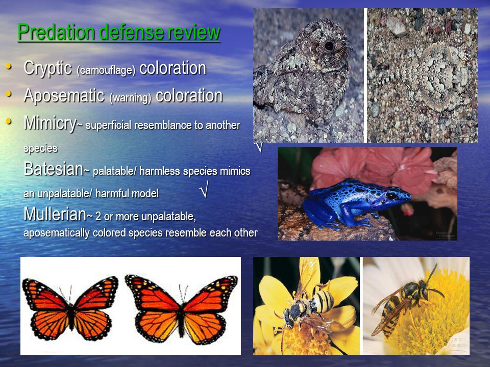 Predation defense review Cryptic (camouflage) coloration Cryptic (camouflage) coloration Aposematic (warning) coloration Aposematic (warning) colorati
