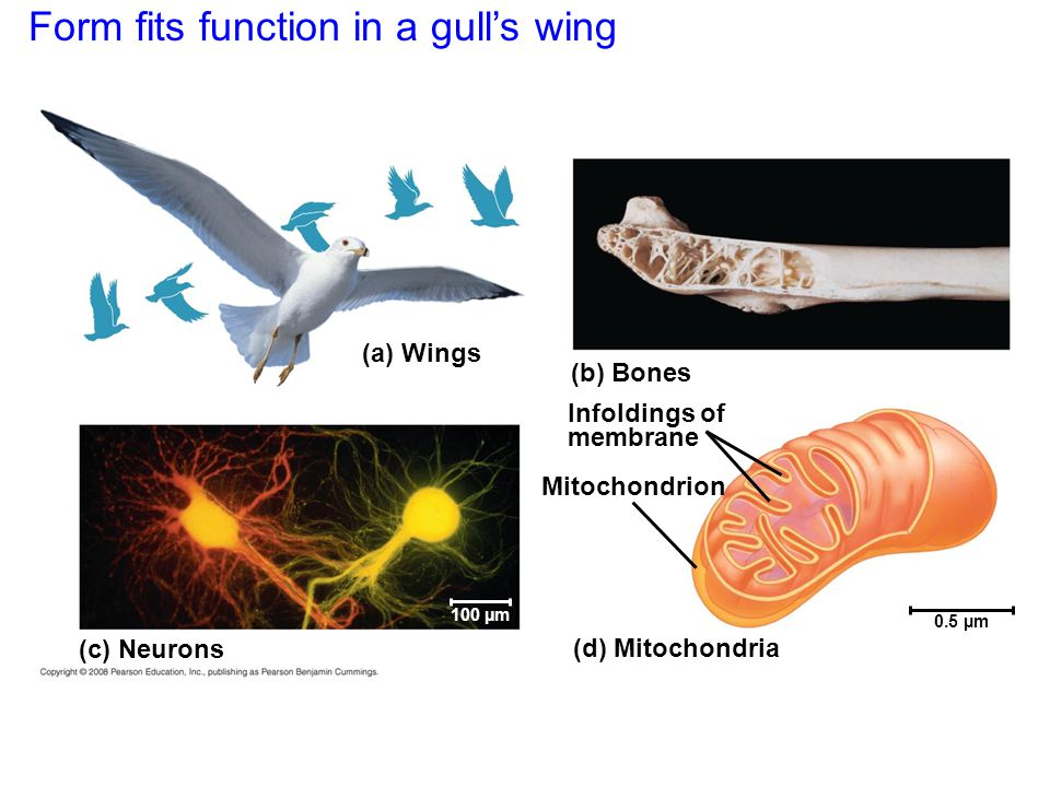 (a) Wings (c) Neurons (b) Bones Infoldings of membrane Mitochondrion (d) Mitochondria 0.5 µm 100 µm Form fits function in a gull's wing