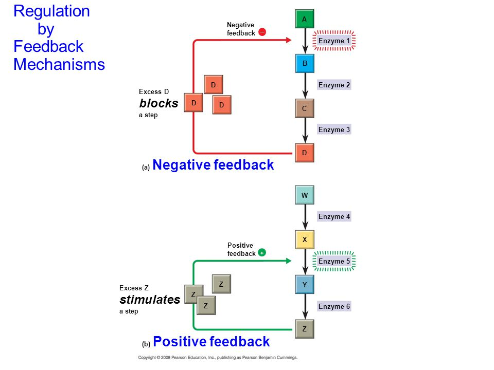 Regulation by Feedback Mechanisms Negative feedback  Excess D blocks a step D D D A B C Enzyme 1 Enzyme 2 Enzyme 3 D (a) Negative feedback W Enzyme 4