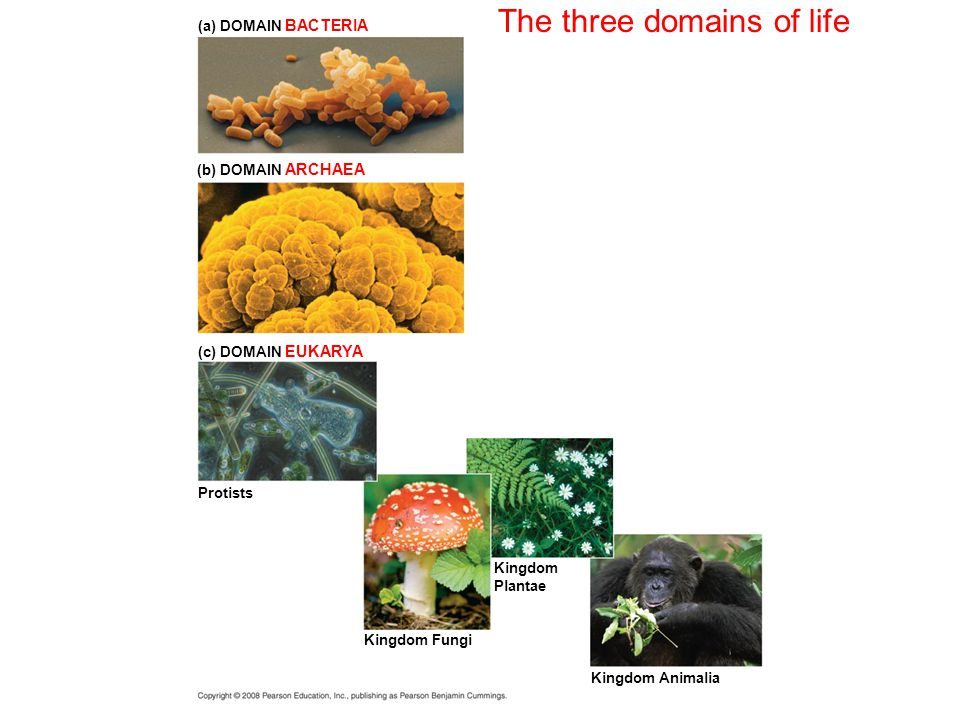 The three domains of life (a) DOMAIN BACTERIA (b) DOMAIN ARCHAEA (c) DOMAIN EUKARYA Protists Kingdom Fungi Kingdom Plantae Kingdom Animalia