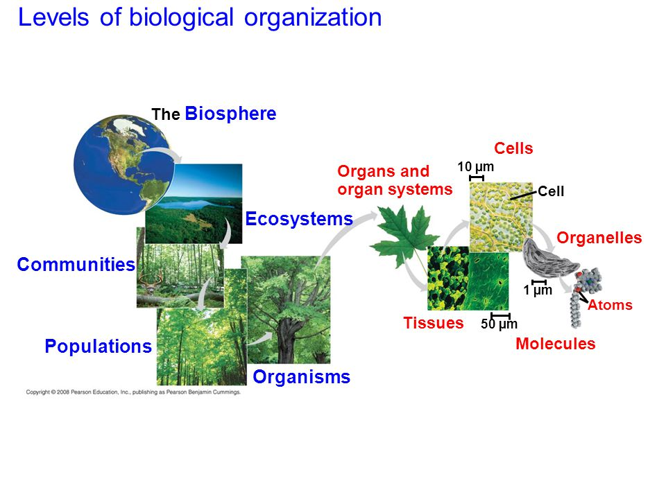 Levels of biological organization The Biosphere Communities Populations Organisms Ecosystems Organs and organ systems Cells Cell Organelles Atoms Mole