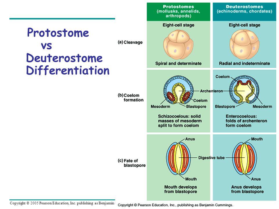 Copyright © 2005 Pearson Education, Inc. publishing as Benjamin Cummings Protostome vs Deuterostome Differentiation