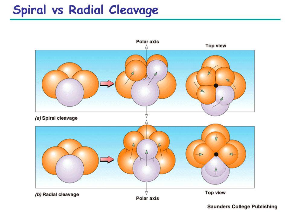 Copyright © 2005 Pearson Education, Inc. publishing as Benjamin Cummings Spiral vs Radial Cleavage