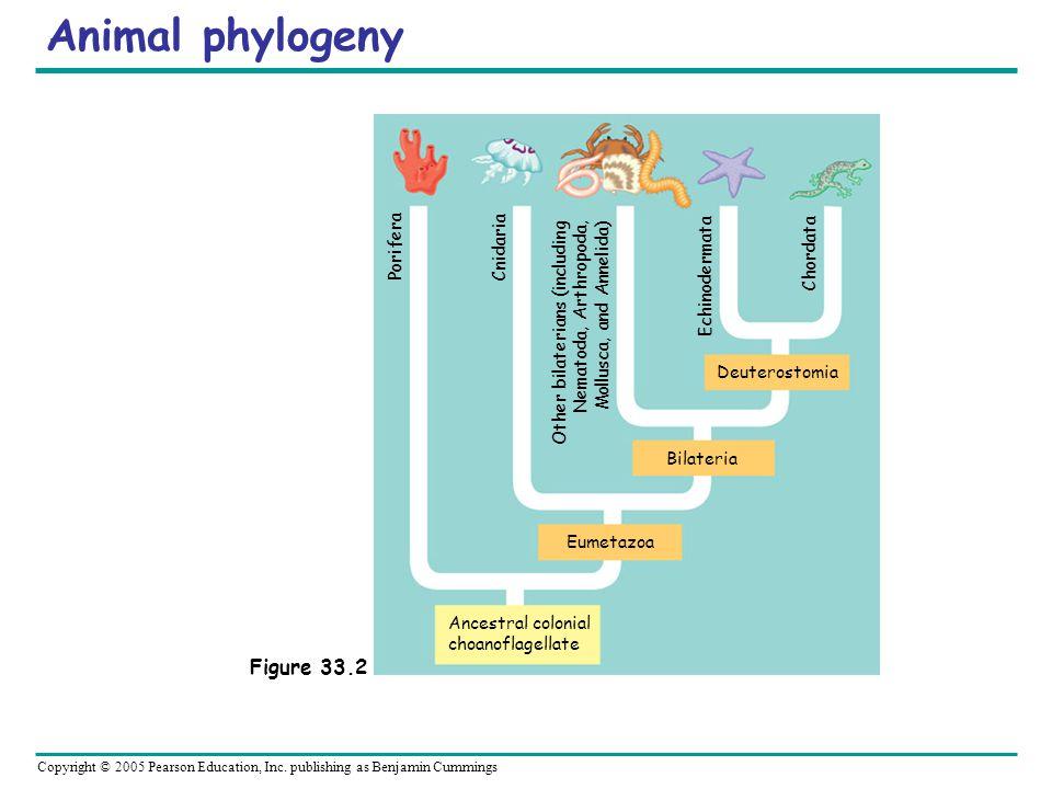 Copyright © 2005 Pearson Education, Inc. publishing as Benjamin Cummings Animal phylogeny Ancestral colonial choanoflagellate Eumetazoa Bilateria Deut