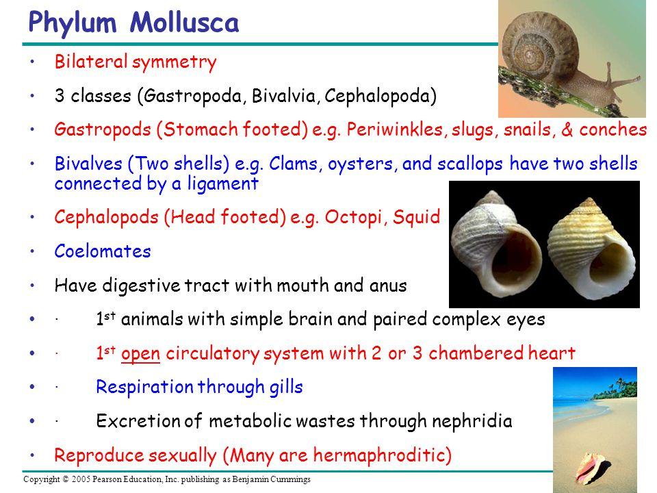 Copyright © 2005 Pearson Education, Inc. publishing as Benjamin Cummings Phylum Mollusca Bilateral symmetry 3 classes (Gastropoda, Bivalvia, Cephalopo