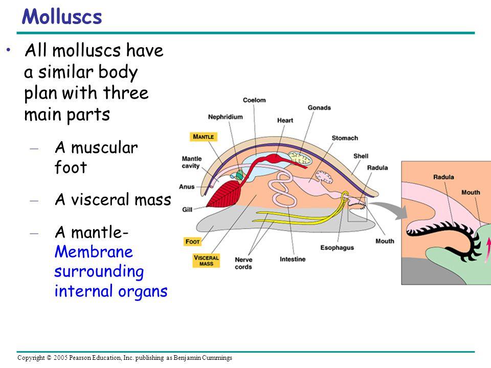 Copyright © 2005 Pearson Education, Inc. publishing as Benjamin Cummings Molluscs All molluscs have a similar body plan with three main parts – A musc