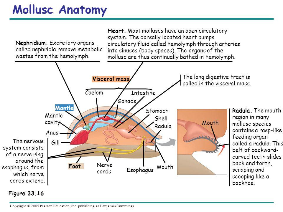 Copyright © 2005 Pearson Education, Inc. publishing as Benjamin Cummings Mollusc Anatomy Visceral mass Mantle Foot Coelom Intestine Gonads Mantle cavi