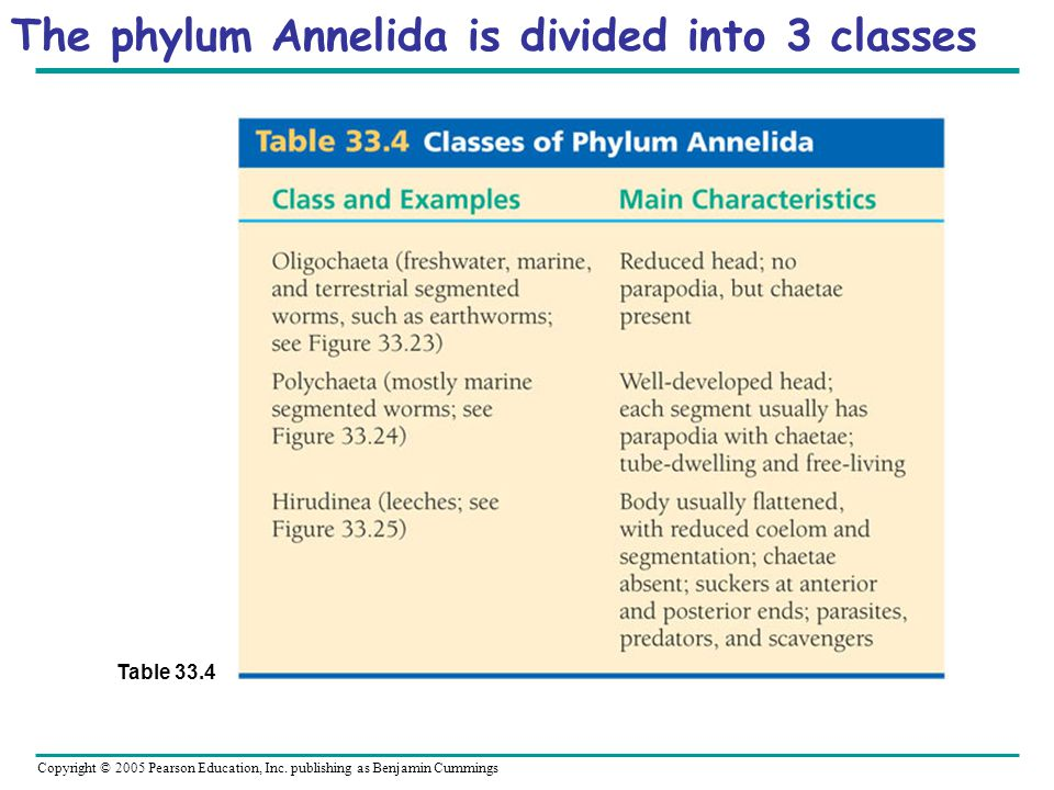 The phylum Annelida is divided into 3 classes Table 33.4