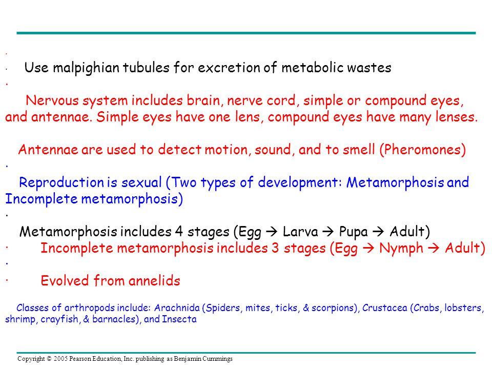 Copyright © 2005 Pearson Education, Inc. publishing as Benjamin Cummings · · Use malpighian tubules for excretion of metabolic wastes · Nervous system
