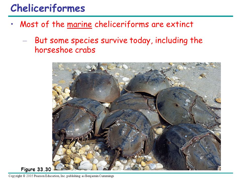Copyright © 2005 Pearson Education, Inc. publishing as Benjamin Cummings Cheliceriformes Most of the marine cheliceriforms are extinct – But some spec