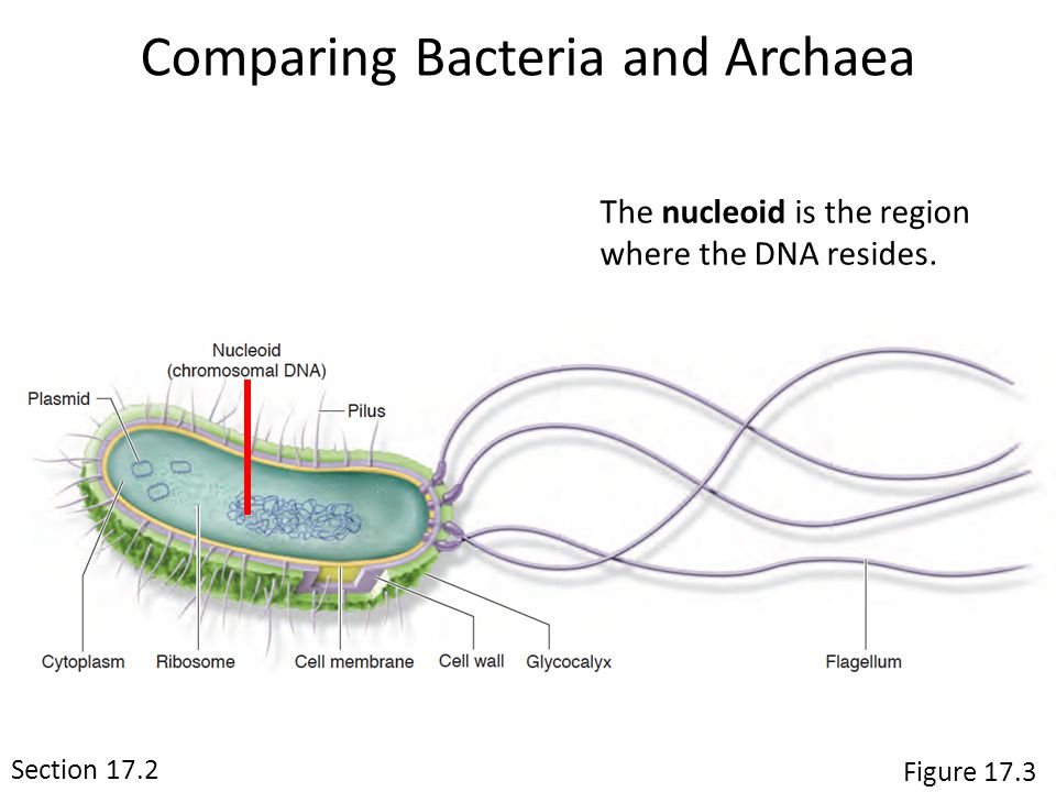 The nucleoid is the region where the DNA resides.