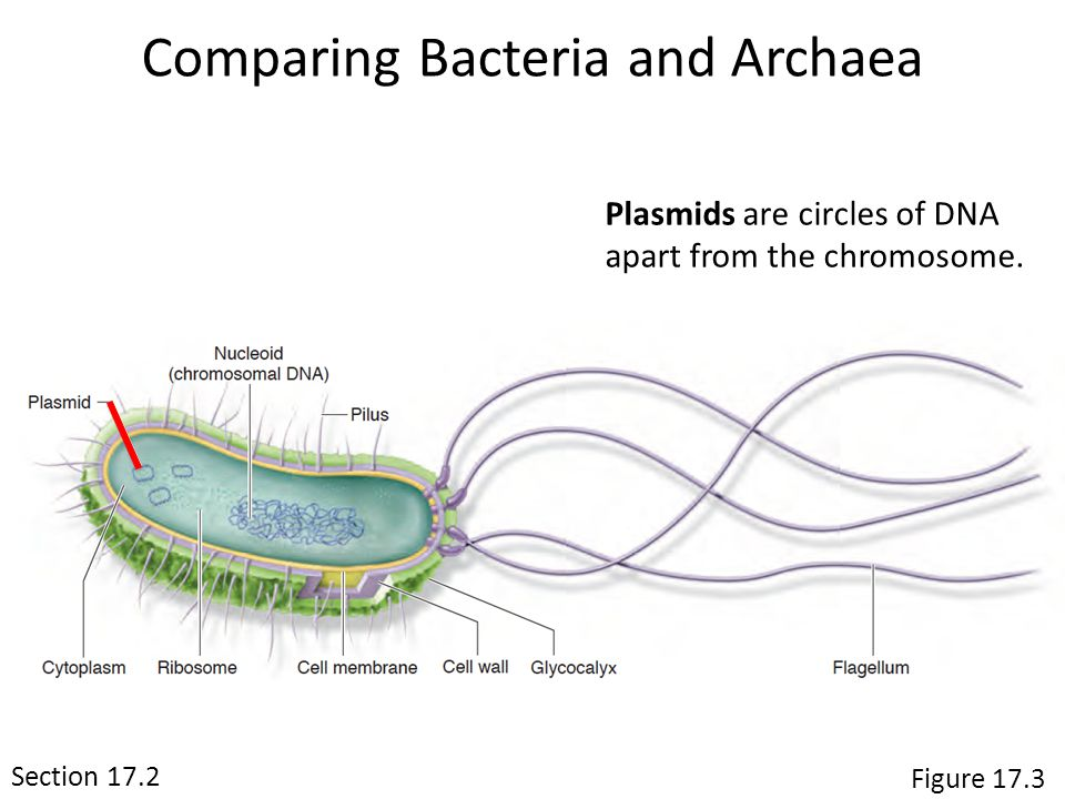 Plasmids are circles of DNA apart from the chromosome.