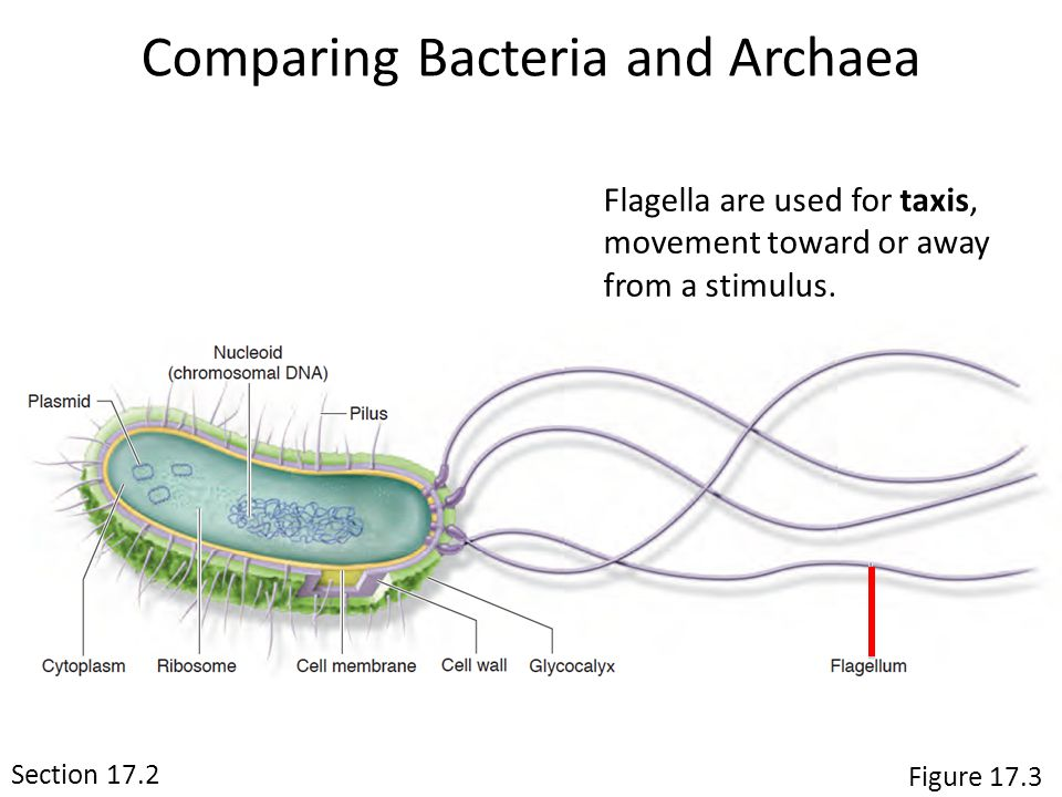 Flagella are used for taxis, movement toward or away from a stimulus.