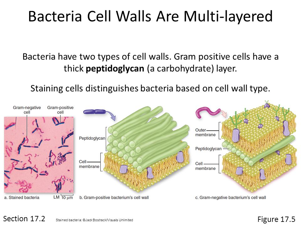 Bacteria have two types of cell walls.