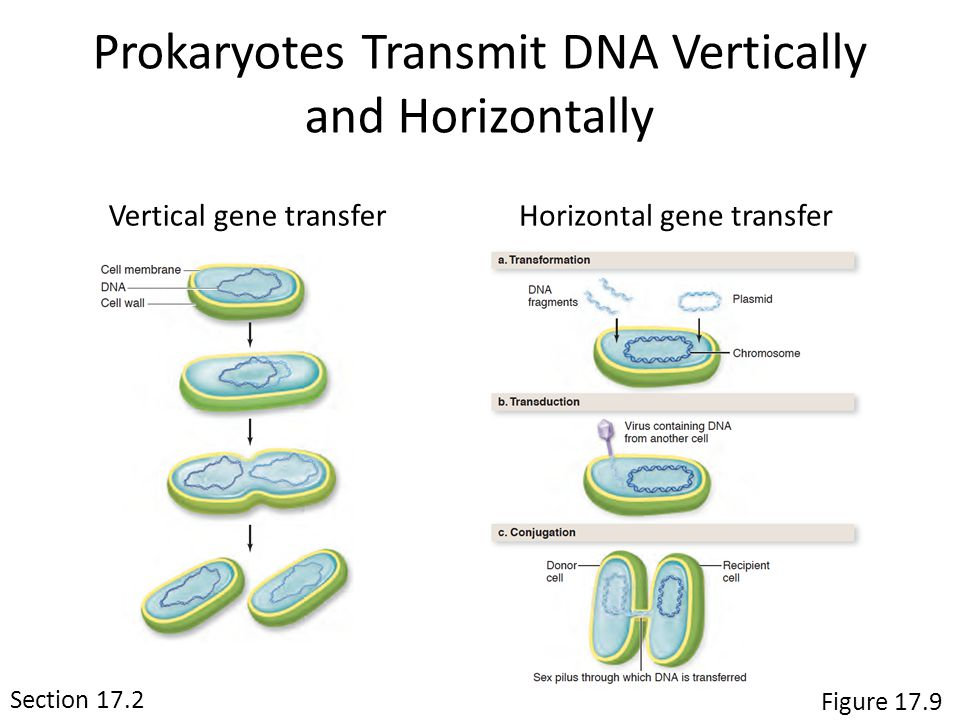 Section 17.2 Figure 17.9 Prokaryotes Transmit DNA Vertically and Horizontally Vertical gene transferHorizontal gene transfer