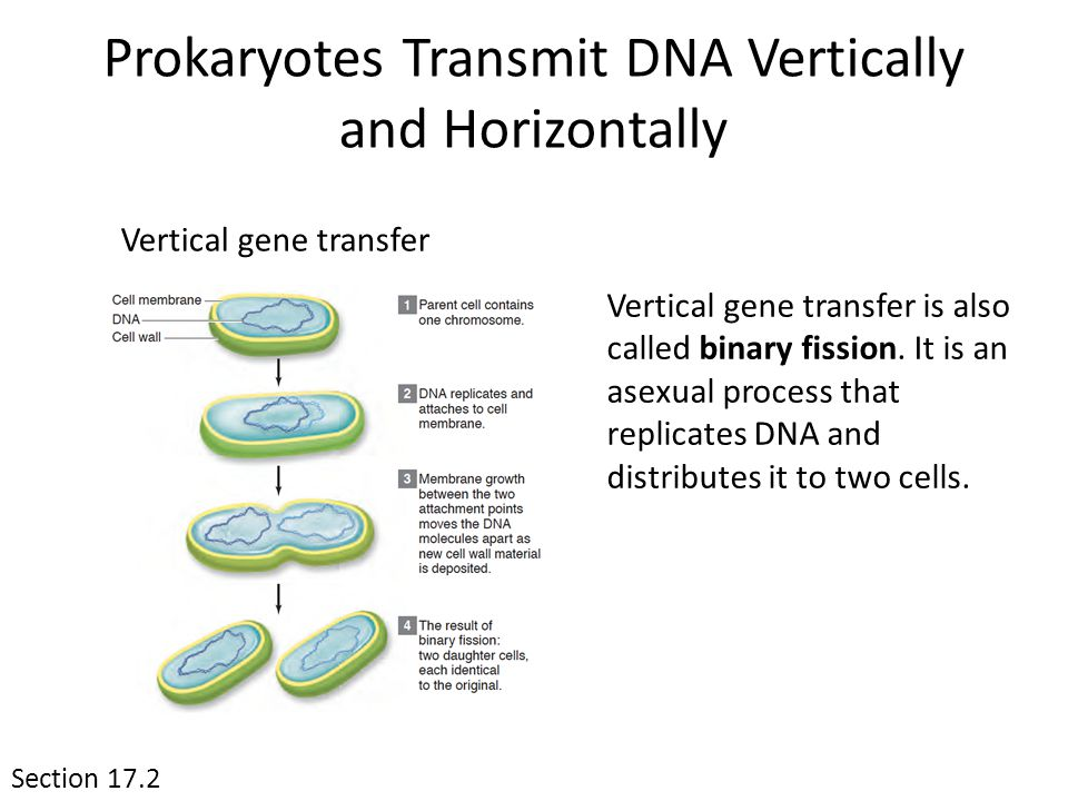 Section 17.2 Prokaryotes Transmit DNA Vertically and Horizontally Vertical gene transfer Vertical gene transfer is also called binary fission.