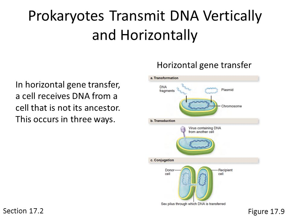 Section 17.2 Figure 17.9 Prokaryotes Transmit DNA Vertically and Horizontally Horizontal gene transfer In horizontal gene transfer, a cell receives DNA from a cell that is not its ancestor.