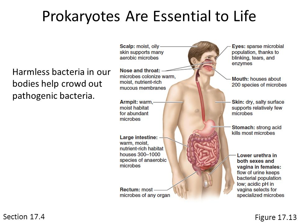 Prokaryotes Are Essential to Life Harmless bacteria in our bodies help crowd out pathogenic bacteria.