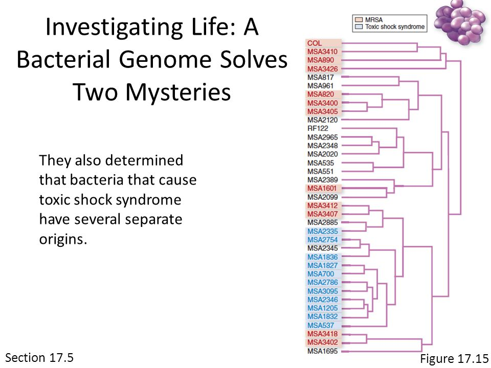 Section 17.5 Figure 17.15 Investigating Life: A Bacterial Genome Solves Two Mysteries They also determined that bacteria that cause toxic shock syndrome have several separate origins.