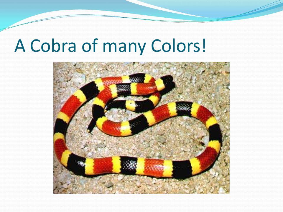 A Cobra of many Colors!