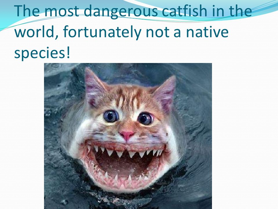 The most dangerous catfish in the world, fortunately not a native species!