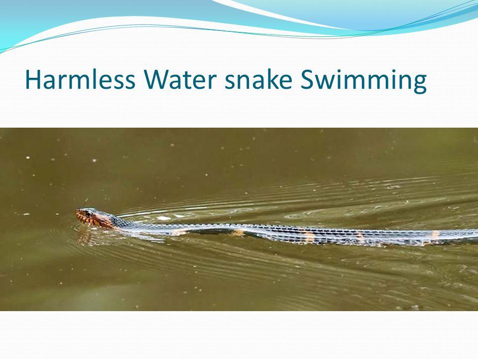 Harmless Water snake Swimming