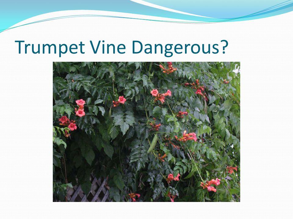 Trumpet Vine Dangerous