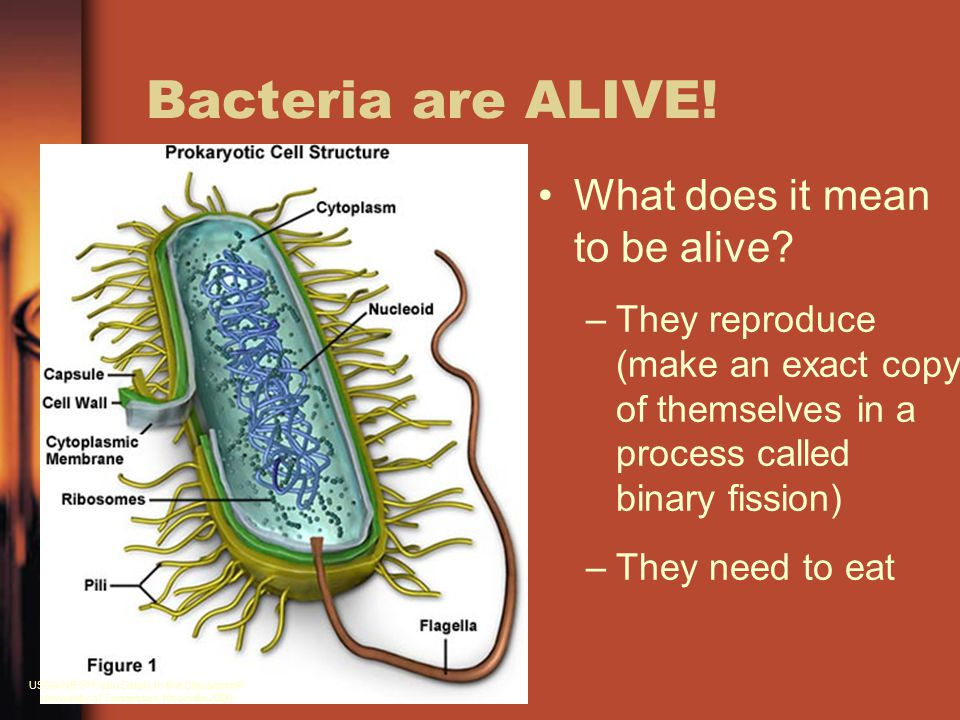 Bacteria are ALIVE! What does it mean to be alive? –They reproduce (make an exact copy of themselves in a process called binary fission) –They need to
