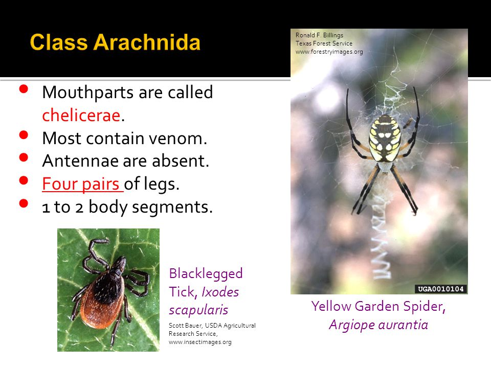 Mouthparts are called chelicerae. Most contain venom. Antennae are absent. Four pairs of legs. 1 to 2 body segments. Blacklegged Tick, Ixodes scapular