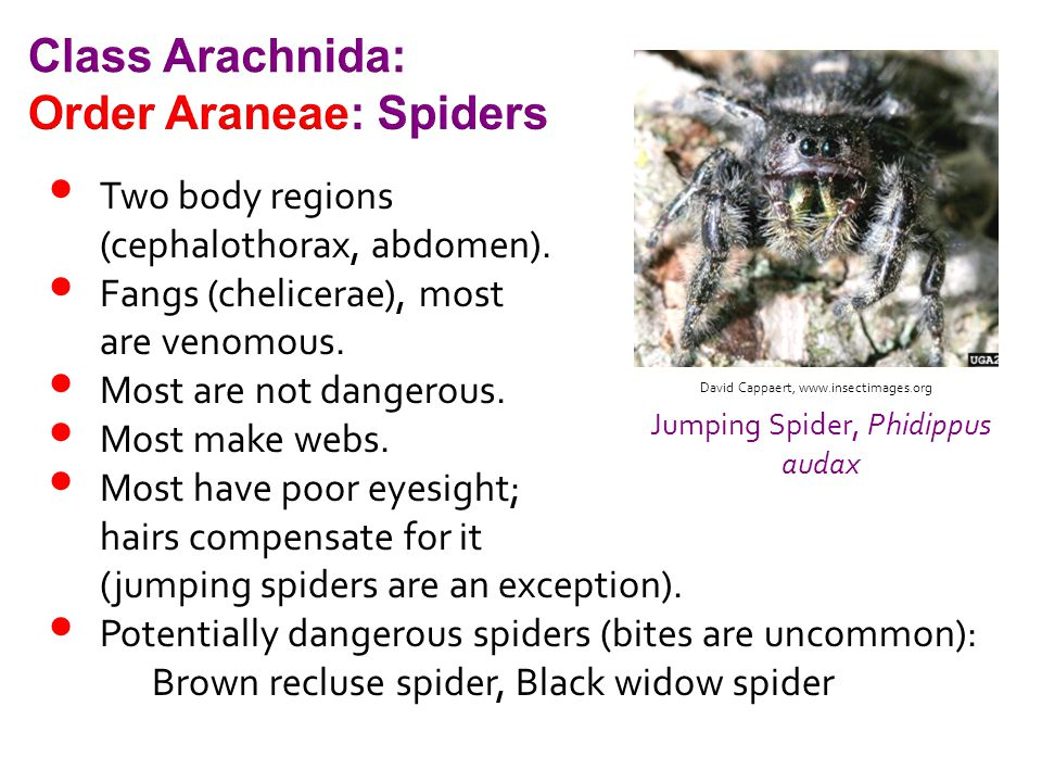 Two body regions (cephalothorax, abdomen). Fangs (chelicerae), most are venomous. Most are not dangerous. Most make webs. Most have poor eyesight; hai
