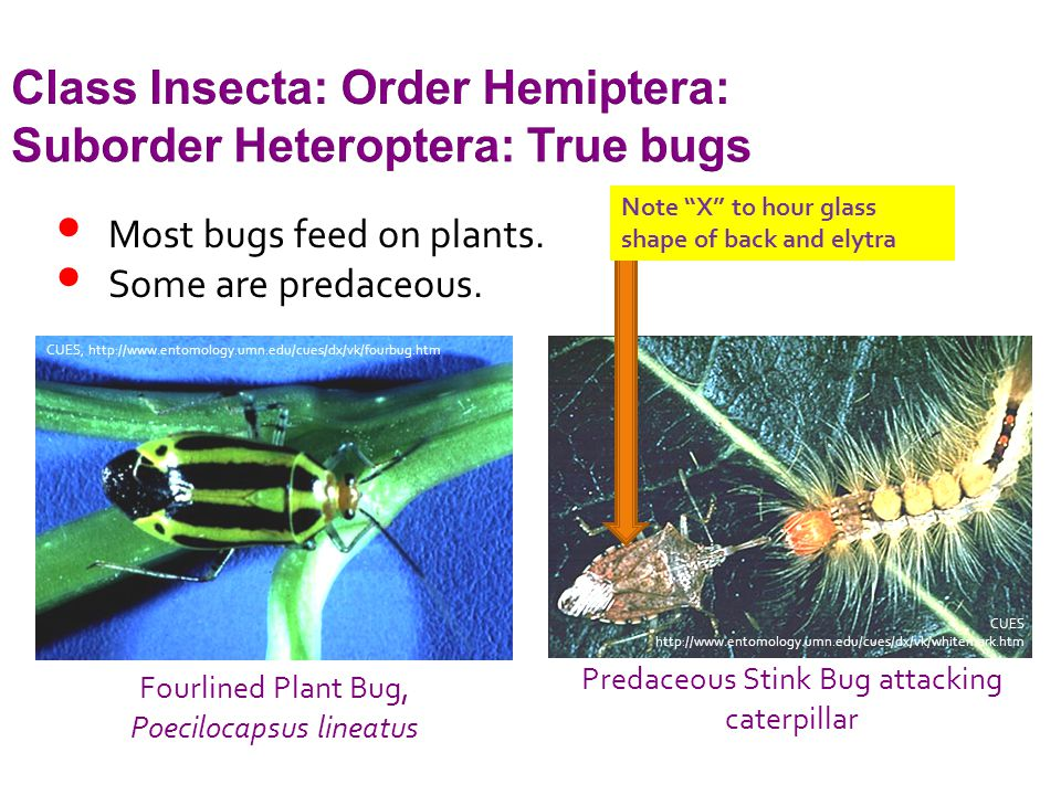 Class Insecta: Order Hemiptera: Suborder Heteroptera: True bugs Most bugs feed on plants.