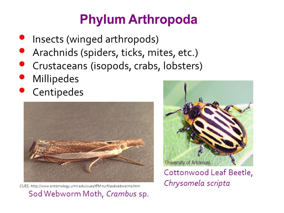 Insects (winged arthropods) Arachnids (spiders, ticks, mites, etc.) Crustaceans (isopods, crabs, lobsters) Millipedes Centipedes Phylum Arthropoda Sod Webworm Moth, Crambus sp.