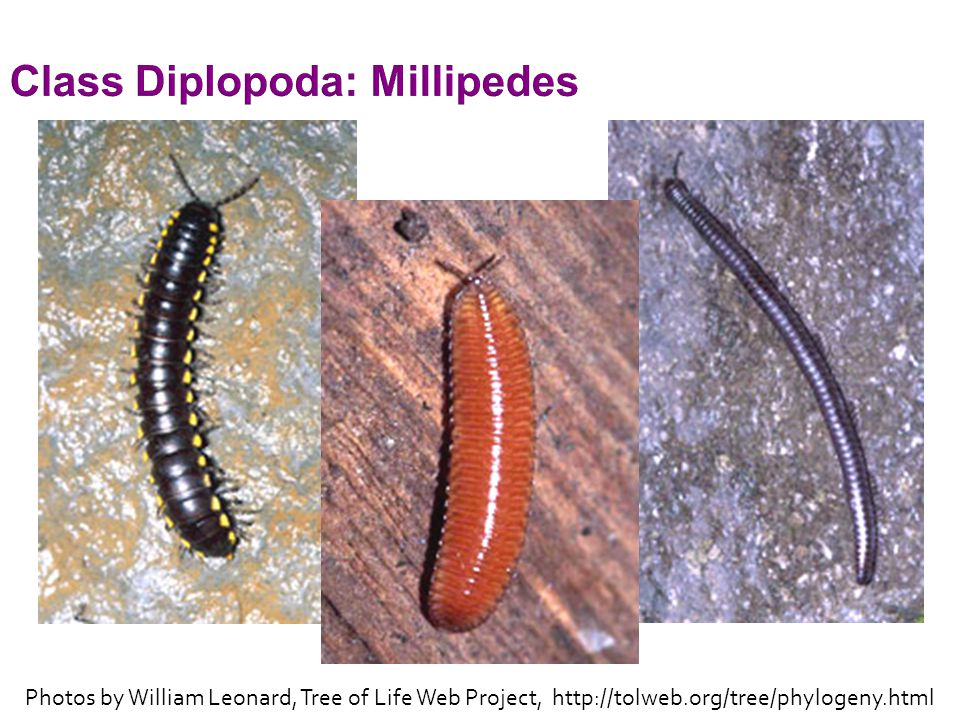 Class Diplopoda: Millipedes Photos by William Leonard, Tree of Life Web Project, http://tolweb.org/tree/phylogeny.html