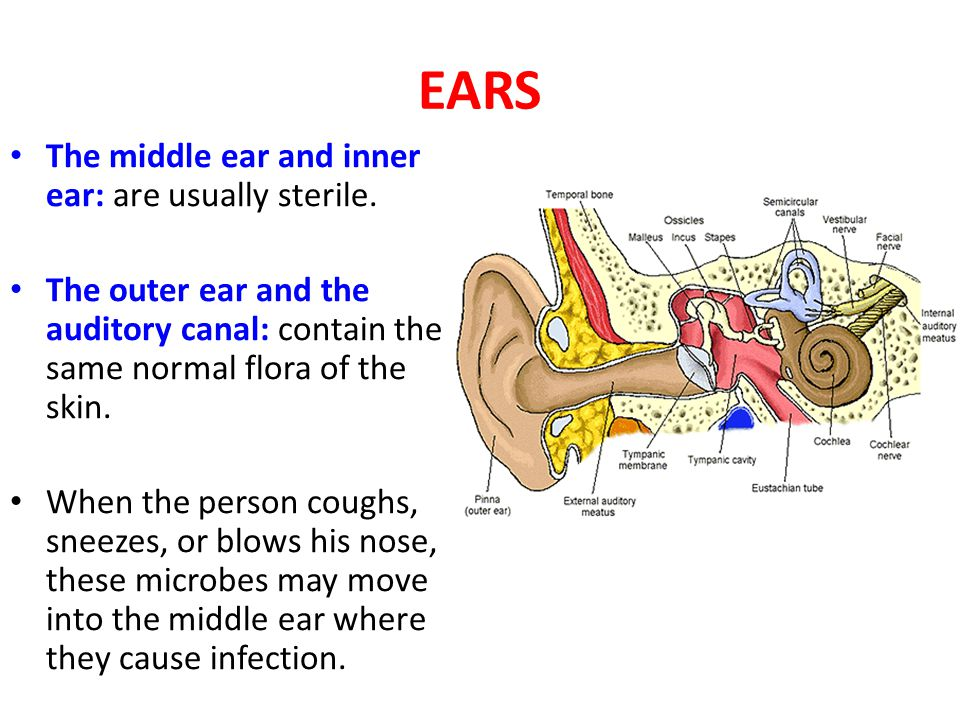 Respiratory Tract Upper Respiratory Tract: - Nose and throat have Many microorganisms.