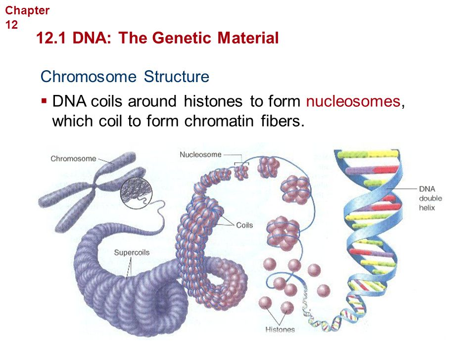 12.1 DNA: The Genetic Material Molecular Genetics Chromosome Structure  DNA coils around histones to form nucleosomes, which coil to form chromatin f
