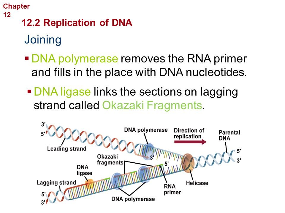 Molecular Genetics Joining  DNA polymerase removes the RNA primer and fills in the place with DNA nucleotides.  DNA ligase links the sections on lag