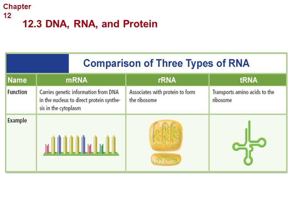 Molecular Genetics 12.3 DNA, RNA, and Protein Chapter 12