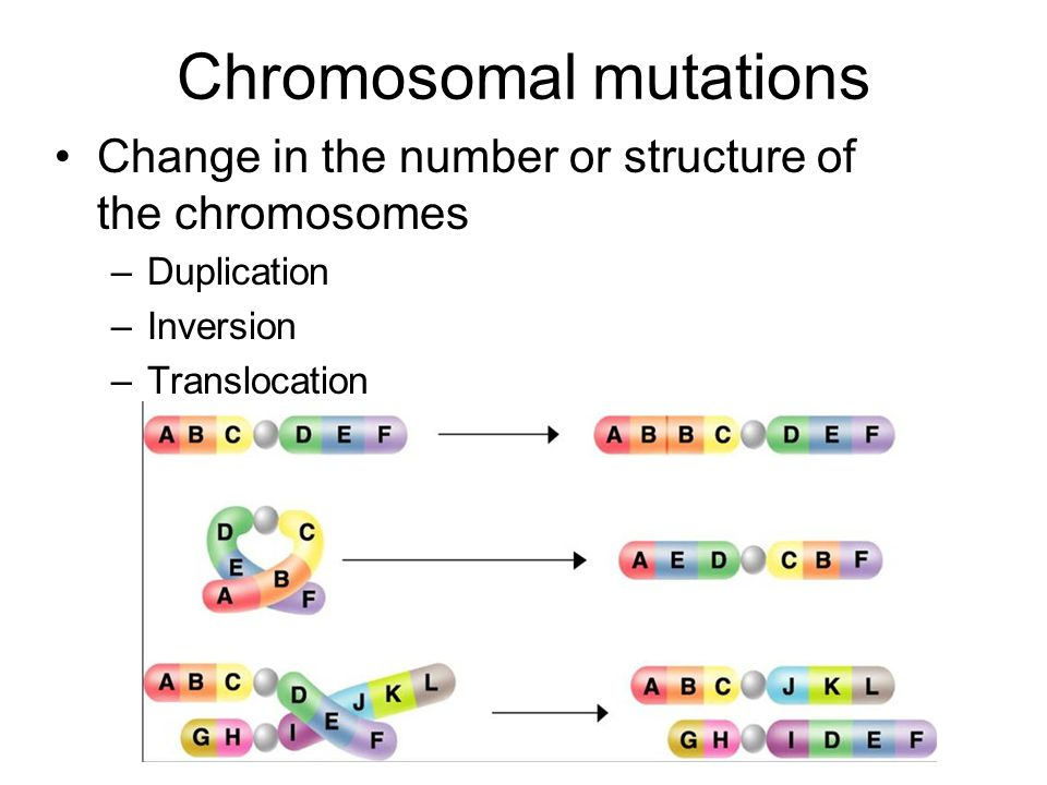 Chromosomal mutations Change in the number or structure of the chromosomes –Duplication –Inversion –Translocation