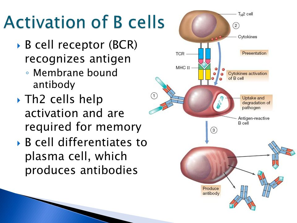  B cell receptor (BCR) recognizes antigen ◦ Membrane bound antibody  Th2 cells help activation and are required for memory  B cell differentiates to plasma cell, which produces antibodies