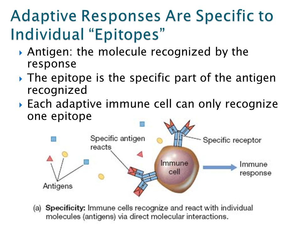  Antigen: the molecule recognized by the response  The epitope is the specific part of the antigen recognized  Each adaptive immune cell can only recognize one epitope