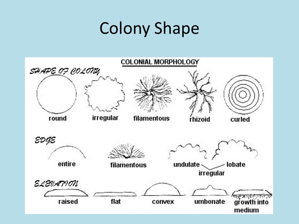 Colony Shape